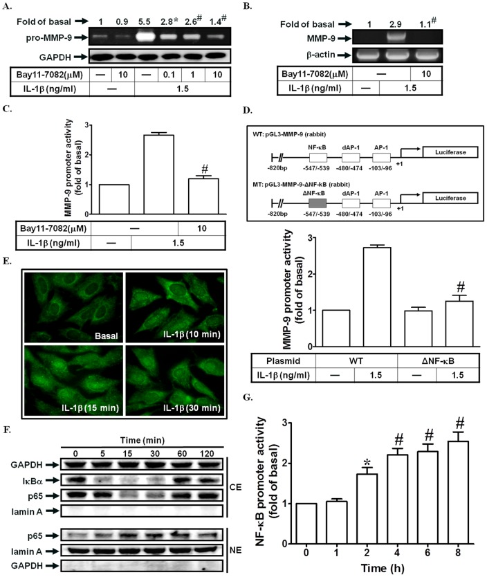 NF-κB is required for IL-1β-induced MMP-9 expression. (A) Cells were pretreated with Bay11-7082 for 1 h, and then incubated with IL-1β for 12 h. The conditioned media were subjected to determine MMP-9 expression. (B, C) Cells were pretreated with Bay11-7082, and then incubated with IL-1β for 4 h (mRNA levels) or 12 h (promoter activity). The mRNA levels and promoter activity of MMP-9 were determined. (D) Cells were transfected with wild-type MMP-9 promoter and NF-κB-mutated MMP-9 promoter, and then incubated with IL-1β for 12 h. The promoter activity of MMP-9 was determined. (E) Cells were treated with IL-1β for the indicated times. The translocation of p65 was observed using a fluorescence microscope. (F) Cells were treated with IL-1β for the indicated times. The nuclear and cytosolic fractions were prepared and subjected to Western blotting using an anti-IκBα or anti-p65 antibody. Lamin A and GAPDH were used as a marker protein for nuclear and cytosolic fractions, respectively. (G) Cells were treated with IL-1β for the indicated times. The NF-κB promoter activity was measured. Data are expressed as mean±S.E.M. of three independent experiments. * P