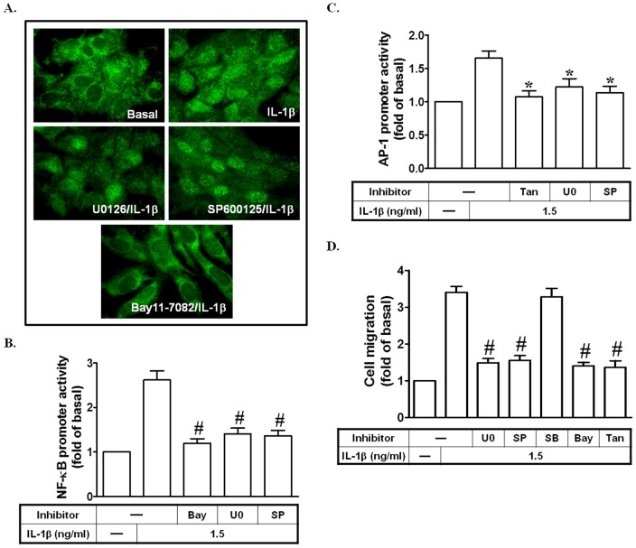 IL-1β stimulates AP-1 and NF-κB promoter activation leading to cell migration. (A) Cells were pretreated with U0126, SP600125, or Bay11-7082 for 1 h, and then treated with IL-1β for 15 min. The translocation of p65 was observed using a fluorescence microscope. (B) Cells were pretreated with Bay11-7082, U0126, or SP600125, and then incubated with IL-1β for 8 h. The NF-κB promoter activity was measured. (C) Cells were pretreated with Tanshinone IIA, U0126, or SP600125 for 1 h, and then incubated with IL-1β for 8 h. The AP-1 promoter activity was measured. (D) Cells were pretreated with Bay11-7082, Tanshinone IIA, SB202190, U0126, or SP600125 for 1 h, and then incubated with IL-1β for 24 h. SIRCs migration was observed. Data are expressed as mean±S.E.M. of three independent experiments. * P