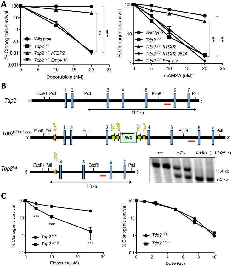 TDP2 promotes survival following TOP2-induced DSBs. A. Clonogenic survival of the indicated DT40 cell line; wild-type, TDP2 −/−/− and TDP2 −/−/− complemented with human TDP2 (hTDP2) and catalytic-dead human TDP2 (hTDP2 262A) or empty vector (Empty V); following continuous treatment with the indicated concentrations of doxorubicin (left) or mAMSA (right). Average ± s.e.m. of at least three independent experiments and statistical significance at the highest indicated dose when compared to TDP2 −/−/− cells by Two-way ANOVA with Bonferroni post-test is shown. B. Scheme showing the strategy for targeted deletion of the first three exons of Tdp2 in mouse. The wild-type ( Tdp2 + ), conditional ( Tdp2 flEx1–3,neo ) and deleted ( Tdp2 flΔ ) alleles are depicted. The EcoRI-EcoRI fragment of Tdp2 was used in the targeting construct. Southern-blot analysis of PstI -digested DNA from wild-type ( +/+ ), heterozygous ( +/flΔ ) and knock-out ( flΔ/flΔ , from now on denoted Tdp2 Δ1–3 ) mice, using the indicated probe (red line), is shown (bottom right). C. Clonogenic survival of wild-type and Tdp2 Δ1–3 transformed MEFs after 3 h acute exposure to the indicated concentrations of etoposide (left) or the indicated dose of γ-irradiation (right). Average ± s.e.m. of three independent experiments and statistical significance by Two-way ANOVA test with Bonferroni post-test is shown. In all figures (*P≤0.05; **P≤0.01; ***P≤0.005).