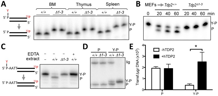 """Deletion of Tdp2 in mouse abolishes 5′-TDP activity and ligation of 5′ phosphotyrosine-blocked ends. A. Duplex substrate harbouring a 5′phosphotyrosine blunt end (left) was incubated with 9 µg Tdp2 +/+ or Tdp2 Δ1–3 tissue extract from bone marrow (BM), thymus and spleen for 1 h. B. Substrate in """"A"""" was incubated with 1.5 µg of cellular extract from Tdp2 +/+ or Tdp2 Δ1–3 primary MEFs for the indicated time. C. Duplex substrate harbouring a 5′phosphotyrosine self-complementary overhang end (left) was incubated with 10 µg cellular extract from Tdp2 +/+ or Tdp2 Δ1–3 transformed MEFs for 2 h in the presence or absence of 50 mM EDTA. D. Self-ligation of 5′ phosphate (P) and 5′ phosphotyrosine (Y–P) overhang substrates as depicted in """"C"""" incubated for 1.5 h with 3.3 µg cellular extract from Tdp2 +/+ or Tdp2 Δ1–3 transformed MEFs in the presence of T4 DNA ligase. In all cases migration of the 5′ phosphotyrosine substrate (Y–P), 5′ phosphate (P) and ligation (lig) products are indicated. E. Circularization efficiency of a linear plasmid with 5′ phosphotyrosine (Y–P) and 5′ phosphate (P) catalysed by Tdp2 Δ1–3 transformed MEFs extracts in the presence and absence of recombinant human TDP2 (hTDP2). Reaction products were transformed into E. coli and the number of transformants obtained per µg of initial substrate DNA (average ± s.e.m. of three independent experiments) is shown. Statistical significance by Two-way ANOVA test with Bonferroni post-test is indicated is shown."""