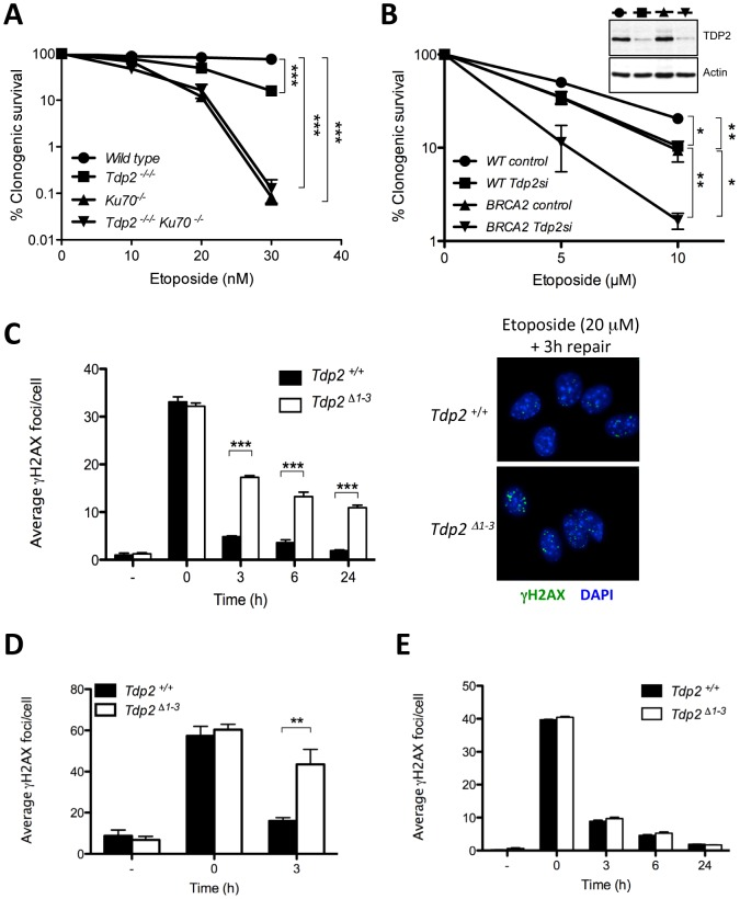 """TDP2 promotes repair of TOP2-induced DSBs by NHEJ. A. Clonogenic survival of wild-type, TDP2 −/−/− , KU70 −/− and TDP2 −/−/− KU70 −/− DT40 cells following continuous treatment with the indicated concentrations of etoposide. Average ± s.e.m. of at least three independent experiments and statistical significance at the highest indicated dose by Two-way ANOVA with Bonferroni post-test is shown. B. Clonogenic survival of wild-type and BRCA2-mutant human transformed fibroblasts with (Tdp2si) and without (control) TDP2 depletion following 3 h acute exposure to the indicated concentrations of etoposide. Western blot analysis of TDP2 levels in wild type and BRCA2-mutant cell extracts after 48 h of transfection is indicated (inset). Other details as in """"A"""". C. γH2AX foci induction after 30 min 20 µM etoposide treatment and repair at different times following drug removal in confluency arrested Tdp2 +/+ and Tdp2 Δ1–3 primary MEFs. Representative images of the 3 h repair time point including DAPI counterstain (right) and average ± s.e.m. of at least three independent experiments (left) are shown. Statistical significance by Two-way ANOVA test with Bonferroni post-test is indicated. D. G2 primary MEFs (see Matherials and Methods) following 30 min 10 µM etoposide treatment. Other details as in """"C"""". E. Confluency arrested primary MEFs exposed to 2Gy γ-irradiation. Other details as in """"C""""."""