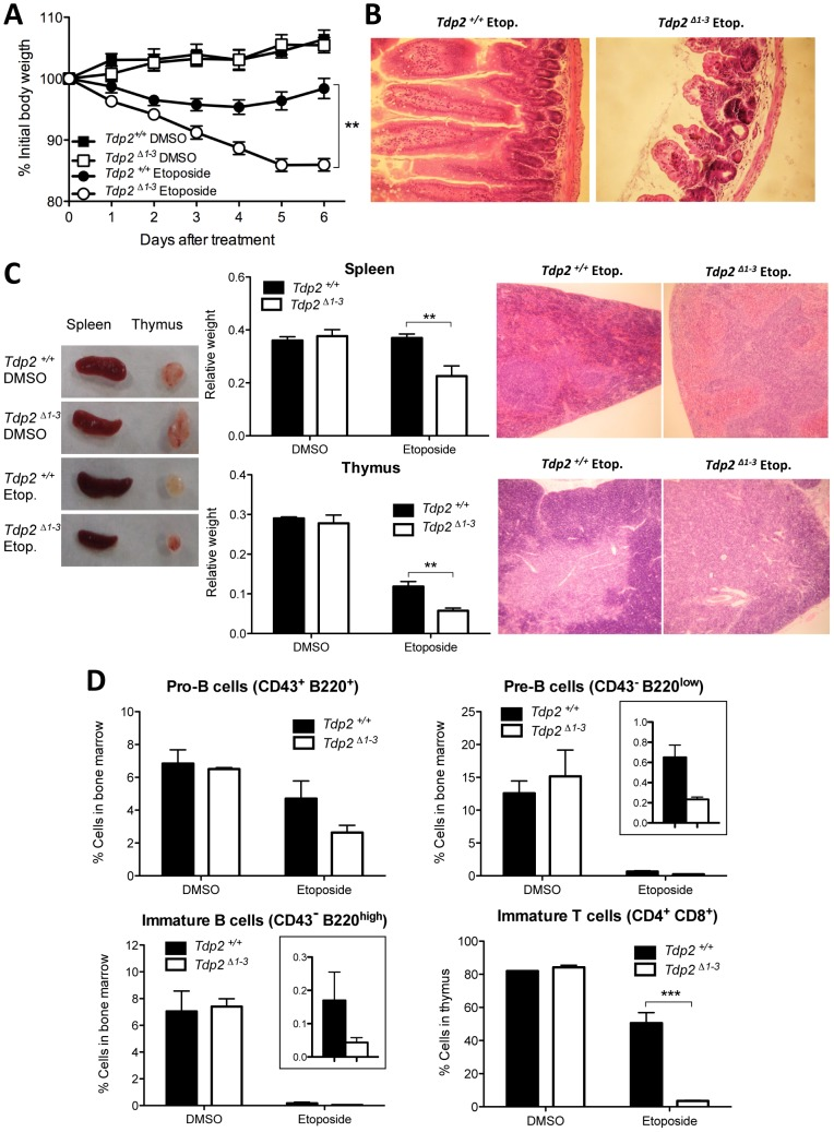 The absence of TDP2 causes etoposide sensitivity in vivo . A. 8-week old wild-type and Tdp2 Δ1–3 littermates were intraperitoneally injected with a single 75 mg/kg dose of etoposide or vehicle (DMSO) and body weight was recorded in the following 6 days. Average ± s.e.m. of the percentage of initial body weight from at least 8 mice and statistical significance by One-way ANOVA with Bonferroni post-test is shown. B. Representative image of hematoxylin-eosin stained jejunum slices from wild-type and Tdp2 Δ1–3 animals 6 days after etoposide treatment. C. Macroscopic (left) and histological (right) representative image of spleen and thymus from wild-type and Tdp2 Δ1–3 animals 6 days after treatment. Average weight of these organs ± s.e.m. and statistical significance by Two-way ANOVA with Bonferroni post-test is shown (centre). D. FACS analysis of B-cells in bone marrow (top and bottom-left) and T-cells in thymus (bottom right) in wild-type and Tdp2 Δ1–3 animals 6 days after treatment. See insets to compare etoposide treated samples when required. Average percentage of the indicated cell type among the total number of cells in the corresponding tissue ± s.e.m. of at least 3 animals and statistical significance by Two-way ANOVA with Bonferroni post-test is shown.