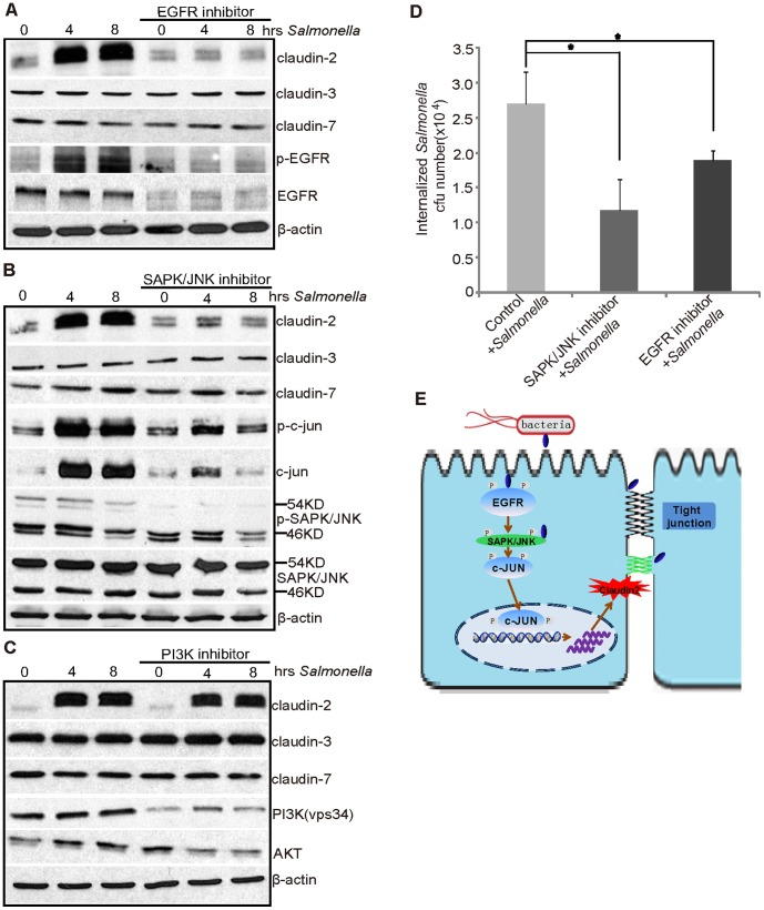 Salmonella -induced claudin-2 expression is dependent on the SAPK/JNK pathway. Claudin-2 protein expression induced by pathogenic Salmonella in SKCO15 cells was tested by different treatments in (A), (B) and (C). (A) Treatment with the EGFR inhibitor (Gefitinib, 50 ng/ml) for 1 hour, followed by colonization of Salmonella for 30 minutes and incubation for 4 hours. (B) Treatment with the SAPK/JNK inhibitor (SP600125, 50 µM) for 1 hour, followed by colonization of Salmonella for 30 minutes and incubation for 4 hours. (C) Treatment with the PI3K inhibitor (Wortmannin, 50 ng/ml) for 1 hour, followed by colonization of Salmonella for 30 min and incubation for 4 hours. (D) The number of invasive bacteria in the intestinal epithelial cells with the SAPK/JNK (SP600125) and the EGFR (Gefitinib) inhibitors. The SAPK/JNK and EGFR inhibitors can decrease the number of invasive bacteria. Data are expressed as the mean ± SD. *P