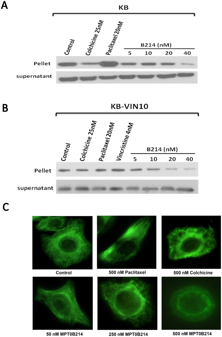 "MPT0B214 inhibits microtubule assembly in vivo . (A) KB and (B) KB-VIN10 cells were treated with test drugs or the same volume of DMSO in PBS as the control. After 24 h of incubation, cells were lysed in a lysis buffer. Cell lysates were centrifuged to separate polymerized microtubules (pellet) from tubulin dimmers (supernatant), as described in "" Material and Methods "". After gel electrophoresis and transfer to the nitrocellulose membrane, α-tubulin was visualized by western blot analysis. (C) The effect of MPT0B214 on the organizations of the cellular microtubule network. Cells were treated with 500 nM colchicine, 500 nM paclitaxel, and MPT0B214 at concentrations of 50 nM, 250 nM, and 500 nM for 6 h. After incubation, cells were harvested and fixed with a fix solution. Fixed cells were reacted with monoclonal anti-α-tubulin antibody at room temperature for 2 h. After treatment with an FITC-conjugated secondary antibody, the cellular microtubules were observed using an <t>Olympus-BX50</t> fluorescence microscope."