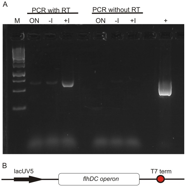Transcription of the master operon flhDC . ( A ) To verify the transcription of the plasmid-encoded master operon flhDC Reverse Transcriptase PCR Reaction of the isolated RNA was performed. It was assumed that within the overnight culture cells exhibiting flagellar assembly were found and therefore this culture was used as a positive control. Cells before addition of the inducer IPTG were used as reference compared to cells after induction of the plasmid-encoded flhDC . To evaluate genomic DNA contamination the isolated RNA samples were also subjected to subsequent PCR. Plasmid-encoded flhDC was used as a positive control for the PCR reaction. Fermentas 1 KB GeneRuler, ON overnight culture sample, -I whole cell sample without induction of plasmid-encoded flhDC , +I whole cell samples with induction of plasmid-encoded flhDC , RT Reverse Transcriptase Reaction, + plasmid-encoded flhDC ; ( B ) Scheme of the plasmid-encoded master operon under the control of the lacUV5 promoter