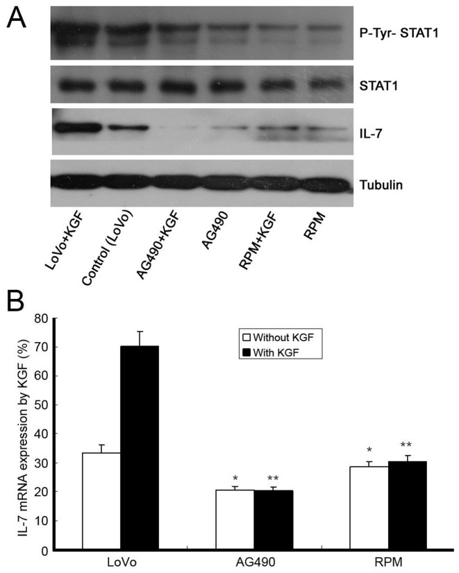 Changes of P-Tyr-STAT1, STAT1 and IL-7 expression after STAT1 blockade following KGF treatment, by western blot in LoVo cells (A). Tubulin was used as internal control. Suppressions of P-Tyr-STAT1 and IL-7 expression, but not STAT1, were observed with STAT1 inhibitors including <t>AG490</t> (50 µmol/l) and RPM (50 ng/ml) following KGF (150 ng/ml) treatment. Changes of IL-7 mRNA expression after STAT1 blockade following KGF treatment were detected by quantitative real-time PCR (B), * indicates significant difference between RPM (or AG490) group and control, ** indicates significant difference between RPM (or AG490)+KGF group and control+KGF group, P