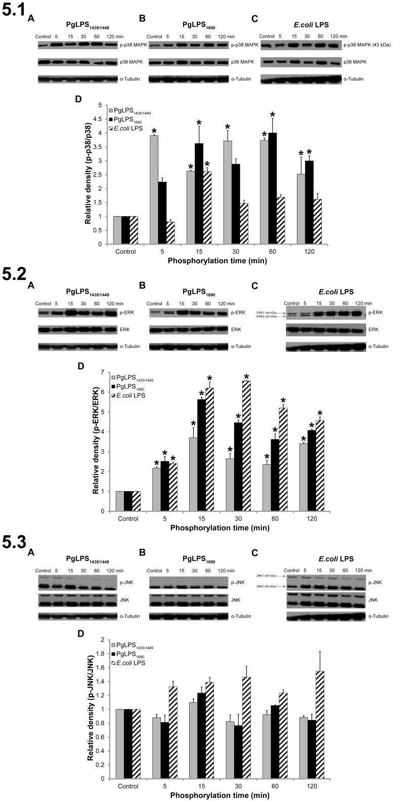 P. gingivalis (Pg) LPS (PgLPS) and E. coli LPS activated the MAPK pathway in HGFs. Kinetics of P38 mitogen activated protein kinase (P38 MAPK), extracellular signal-regulated kinase1/2(ERK1/2), and Stress-activated protein kinase/c-Jun NH2-terminal kinase (SAPK/JNK) phosphorylation in HGFs are shown in 5.1 , 5.2 and 5.3 , respectively. Cells were treated with PgLPS 1435/1449 (A), PgLPS 1690 (B) and E. coli LPS (C) at 1 µg/mL for the indicated period of time. Cell extracts were prepared and the levels of P38 MAPK, phospho-p38MAPK, ERK, phospho-ERK, JNK and phospho-JNK were determined by western blotting. Quantification of band intensities was performed by densitometry analysis using Image J software. The fold increase values of phospho-protiens of P38 MAPK (5.1D), ERK1/2 (5.2D) and SAPK/JNK (5.3D) as compared with the total protein are shown in the graphs (arbitrary units over control after normalization to the total protein). Equal loading was confirmed by stripping the immunoblot and re-probing it for α-Tubulin. The data shown here are from a representative experiment repeated three times with similar results . *Significant difference with a p -value
