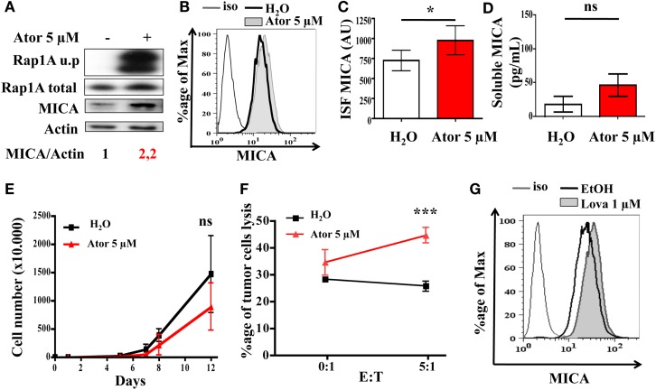 "Statin treatment induces MICA overexpression and increases NK-dependent cytotoxicity . LB1319-MEL cells were treated with 5 μM atorvastatin for 48 h (Ator) or untreated (H 2 O). The atorvastatin treatment efficiency was controlled by the analysis of Rap1A unprenylation (Rap1A u.p) compared to the total protein (Rap1A total) (A) . MICA total expression was analyzed by western blot (A) , membrane expression by flow cytometry (B,C) , and cleavage by ELISA (D) ( n = 3). To evaluate membrane antigen expression, the index of specific fluorescence (ISF) was calculated as indicated in the Section ""Materials and Methods"" (C) . Results are expressed as mean ± SD [error bars, n = 5 experiments (C) or 3 experiments (D) ]. * P"
