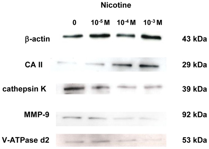 Effect of nicotine on protein expression of CA II, cathepsin K, MMP-9, and V-ATPase d2. RAW264.7 cells were cultured in differentiation medium with 0 (control), 10 −5 , 10 −4 , or 10 −3 M nicotine for 5 days. The protein expression of CA II, cathepsin K, MMP-9, and V-ATPase was determined by Western blotting.