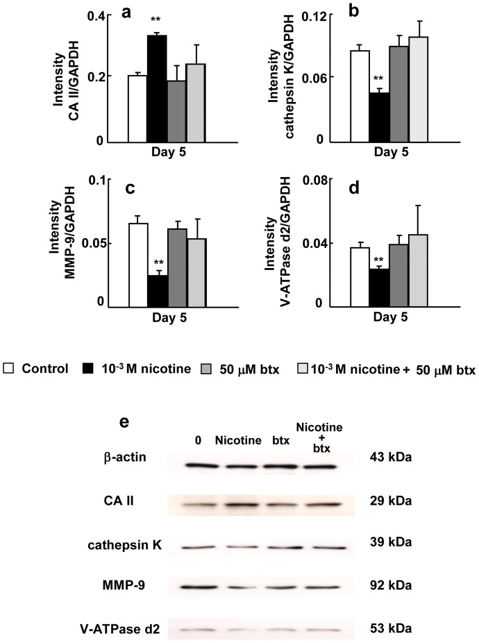 Effect of btx and/or nicotine on the expression of CA II, cathepsin K, and MMP-9 and V-ATPase d2. Bone marrow cells were cultured in medium containing macrophage colony-stimulating factor (50 ng/ml), and RANKL (50 ng/ml) without drug (control), 50 µM btx, 10 −3 M nicotine, or 50 µM btx, and 10 −3 M nicotine for 5 days. The mRNA expression of CA II (a), cathepsin K (b), MMP-9 (c), and V-ATPase d2 (d) was determined by real-time PCR. The protein expression of CA II, cathepsin K, MMP-9, and V-ATPase d2 was determined by Western blotting (e).Data are shown as the mean±S.D., n = 3 independent experiments. *p