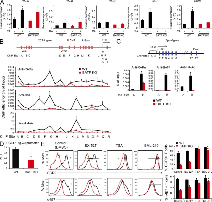 RARα fails to bind the 5′ regulatory regions of the mouse CCR9 and Itg-α4 genes in BATF deficiency. WT or BATF KO CD4 + T cells were activated for 4–5 d with concanavalin A, IL-2, and RA. (A) Expression of nuclear RAR genes in BATF KO CD4 + T cells was examined by quantitative RT-PCR. Normalized values to β-actin levels are shown. (B and C) The binding of RARα and BATF and histone H4 acetylation on the CCR9 gene (B) or the Itg-α4 gene (C) were assessed by ChIP assay. Representative PCR data with duplicated measurements are shown. (D) WT or BATF KO CD4 + T cells were activated for 4–5 d with anti-CD3/CD28 in the presence of IL-2 and 10 nM RA and transfected with pGL4-5′-Itg-α4. The cells were reactivated with anti-CD3/28 + IL2 in the presence of 20 nM RA for 16 h, and luciferase activity was normalized to control Renilla luciferase activity. (E) Naive WT or BATF KO CD4 + T cells were activated with anti-CD3/CD28 or concanavalin A for 4–5 d in the presence of IL-2 and 10 nM RA and the indicated HDAC inhibitors (TSA, BML-210, or EX-527), and the expression of CCR9 and α4β7 was measured by flow cytometry. Graphs show the percentage of cells expressing CCR9 or α4β7. All of the experiments were performed at least three times, and pooled (A, D, and E) or representative (B and C) data are shown. Error bars are SEM obtained from pooled data (A, D, and E) or differences between duplicated measurements (B and C). Significant differences from the KO control group are shown (*, P