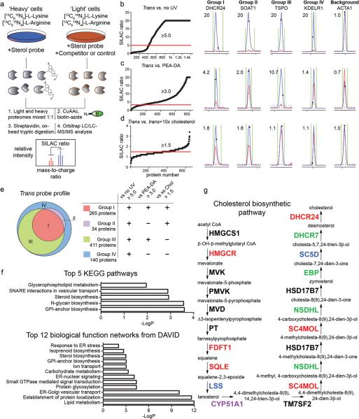 MS-based profiling of sterol-binding proteins in HeLa cells ( a ) Scheme for enrichment and analysis of sterol probe labeling profiles in mammalian cells by biotin-streptavidin methods and SILAC MS analysis. ( b–d ) Heavy/light ratio plots for total proteins identified in experiments that compared the labeling profiles of the trans -sterol probe versus no-UV light control ( b ; 20 μM trans probe / 20 μM trans probe with no UV), the PEA-DA probe ( c ; 20 μM trans probe / 20 μM PEA-DA probe), and 10× cholesterol competition ( d ; 10 μM trans probe / 10 μM trans probe + 100 μM cholesterol). Representative MS1 traces with calculated ratios for proteins that fall into Groups I-IV, as well as the MS1 traces for a non-specific background protein, are shown to the right of the global ratio plots. Ratios of > 20 are listed as 20. ( e ) Venn diagram showing the distribution of Group I-IV proteins for the trans -sterol probe labeling profile. ( f ) Top-five pathways determined by searching Group I proteins on the KEGG database, and top-12 biological function networks determined by searching Group I proteins on the DAVID gene ontology server. ( g ) Trans -sterol probe labeling profile for the cholesterol biosynthetic pathway, with colors reflecting each enzyme's Group designation (black: not detected).