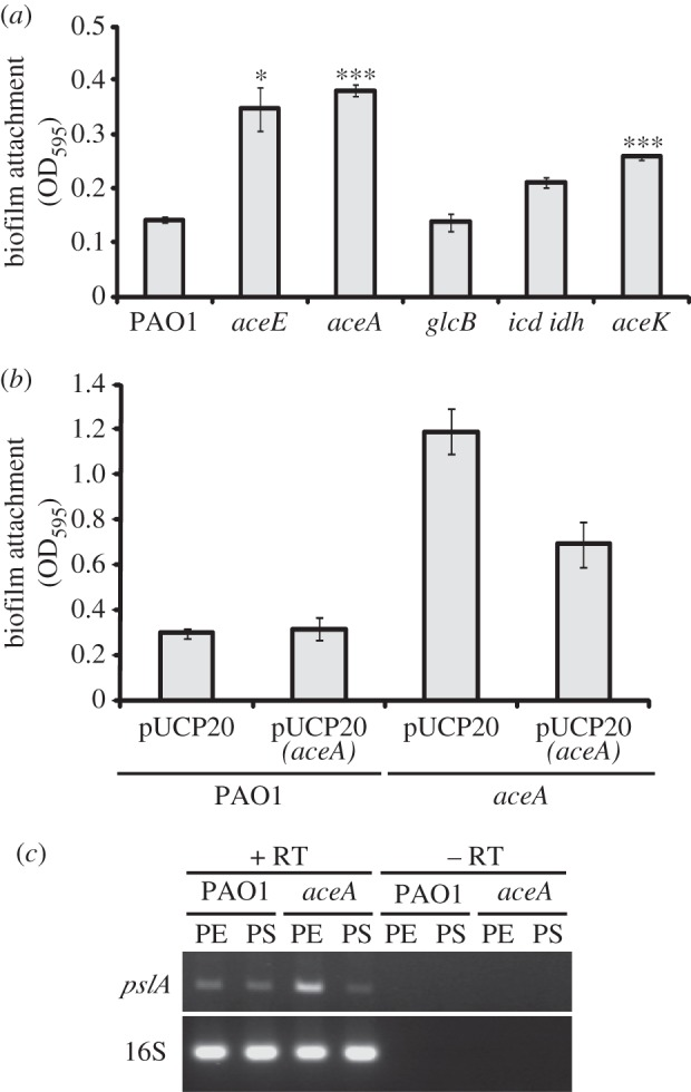 Biofilm formation in TCA and glyoxylate cycle mutants under anaerobic conditions. Anaerobic biofilm formation in ( a ) PAO1 and the indicated TCA and glyoxylate cycle mutants, and ( b ) PAO1 and an aceA mutant carrying a plasmid-encoded aceA gene (pJC10) or the empty plasmid (pUCP20). * p