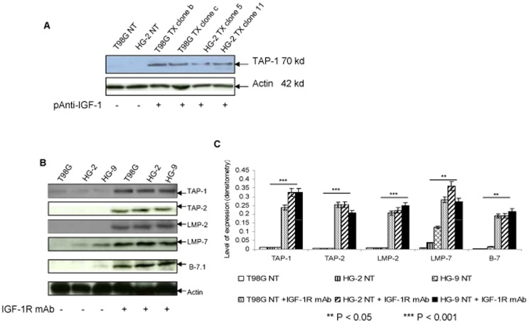 Comparison in expression of TAP, LMP and B-7.1 peptides in parental and pAnti IGF-1 transfected and/or IGF-1R monoclonal antibody (mAb) treated HGB cell lines. A, Regulation of TAP-1 peptide in T98G and HG-2 TX cells was determined by Western Blot. Cell lysate was prepared from cells of TX and corresponding NT cell lines pretreated as described in Fig 4 and then subjected to SDS-PAGE and electronically blotted to nitrocellulose membrane. TAP-1 peptide on the membrane was probed by anti-human TAP-1 monoclonal Ab+anti-mouse <t>IgG</t> <t>HRP-linked</t> Ab; and, signal was detected by LumiGLO reagent. Lanes 1, 2 are NT cells from the T98G and HG-2 cell lines respectively. Lane 3, 4 are TX cells from clone b and c of the T98G cell line; Lane 5, 6 are TX cells from clone 5 and 11 of the HG-2 cell line. Re-probed membrane with anti-actin Ab demonstrates presence of the 42 kd actin. Up-regulation in expression of the 70 kd TAP-1 in the two pAnti IGF-1 transfected cell clones were demonstrated in this experiment. B, Up-regulation in TAP-1 and LMP-7 peptides, and, rescue in expression of TAP-2 and LMP-2 peptides following the exogenous addition of 10ug/ml IGF-1R mAb into cell culture medium for 48 hours were demonstrated by Western Blot. The lysates of wild type and IGF-1R antibody treated cells were prepared as described in A. Lanes 1, 2 and 3 represent T98G, HG-2 and HG-9 cell lines cultured in medium with no IGF-1R mAb added, while lanes 4, 5 and 6 are the corresponding respective cell lines cultured in medium with addition of exogenous IGF-1R mAb (10ug/ml), respectively. Rows 1, 2, 3 and 4 represent TAP-1, TAP-2, LMP-2 and LMP-7, respectively. Row 5 demonstrates the rescue in expression of the B-7.1 peptide in IGF-1R mAb treated T98G, HG-2 and HG-9 cell lines when compared to the wild types of the corresponding non-treated cells. The 42 kd band of actin is also shown as an internal control for the quantity of samples loaded. B represents the results from one set of the e