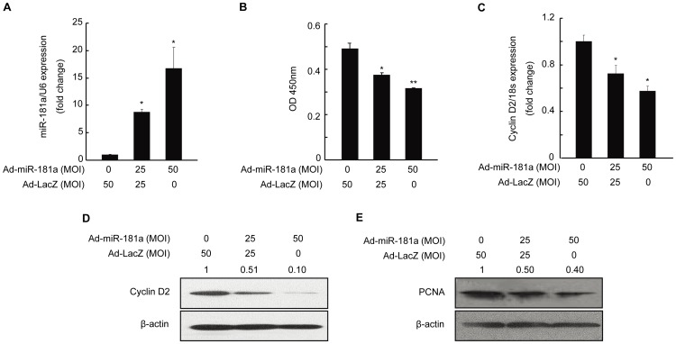 Inhibition of proliferation of and relevant gene expression in mouse granulosa cells (mGC) by miR-181a. mGC was infected with Ad-miR-181a (multiplicity of infection, MOI = 0, 25, and 50) for 48 h. (A) MiR-181a level was measured by qRT-PCR. (B) Result of a CCK-8 assay examining the proliferation of mGC. (C) qRT-PCR and (D) Western blot analysis of cyclin D2 mRNA and protein levels, respectively, in mGC. (E) Protein level of proliferating cell nuclear antigen (PCNA) as determined by Western blotting. Relative protein levels were measured by densitometry using Quantity One Software and normalized to β-actin, Ad-LacZ group; the ratios were presented above the Western blot bands. *p