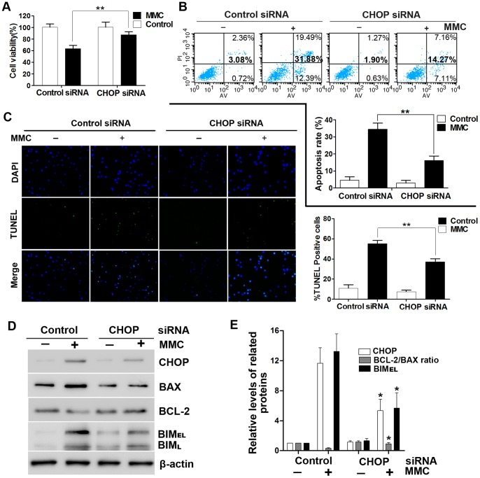 CHOP is essential for MMC-induced apoptosis. Fibroblasts were transfected with CHOP or control siRNA (non-targeting siRNA). After treatment with 0.4 mg/ml MMC for 48 hours, the cells were analyzed in a number of assays. (A) Cell viability was assessed with the CCK-8 assay. (B) Annexin V/propidium iodide double staining was performed to detect the apoptosis rate. (C) TUNEL-stained cells were observed under a fluorescence microscope. (D) Whole-cell lysates were used for Western blotting with antibodies specific for CHOP, BAX, BCL-2, BIM and β-actin (loading control). This experiment was performed in triplicate. (E) The band intensities for CHOP, BCL-2/BAX and BIM were expressed as a histogram relative to β-actin. The control group (no MMC treatment) was normalized to a value of 1.0-fold. The data in panels A, B, C and E are the mean ± SD of at least three independent experiments. *P