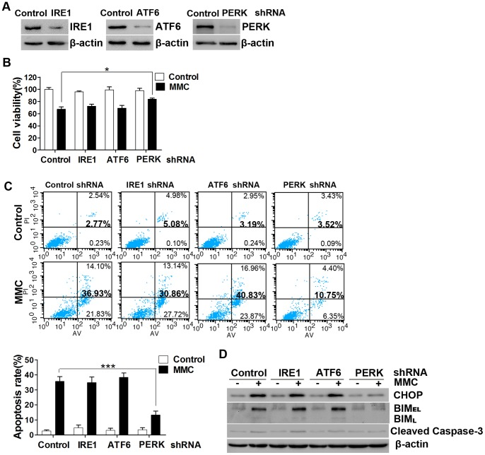 The role of three UPR sensors in MMC-induced apoptosis in fibroblasts. Fibroblasts were transfected with the PERK, ATF6, IRE1 or non-targeting lentiviral-mediated shRNAs. (A) The expression levels of the targeted transcripts were determined by Western blotting with PERK, ATF6, IRE1 and β-actin antibodies. The presented data represents the results of two independent experiments. (B) Transfected cells were treated with MMC as described in the text and then cell viability was measured after 48 hours. (C) Apoptosis rates were determined via Annexin V/propidium iodide double staining and are shown in the bar graph. (D) After MMC treatment (0.4 mg/ml, 5 minutes) and incubation for 48 hours, equal amounts of the whole cell lysates were analyzed by Western blotting with antibodies specific for CHOP, BIM, cleaved caspase-3, and β-actin (loading control). This experiment was performed in triplicate. The data presented in panels B and C are the mean ± SD of three independent experiments, *P