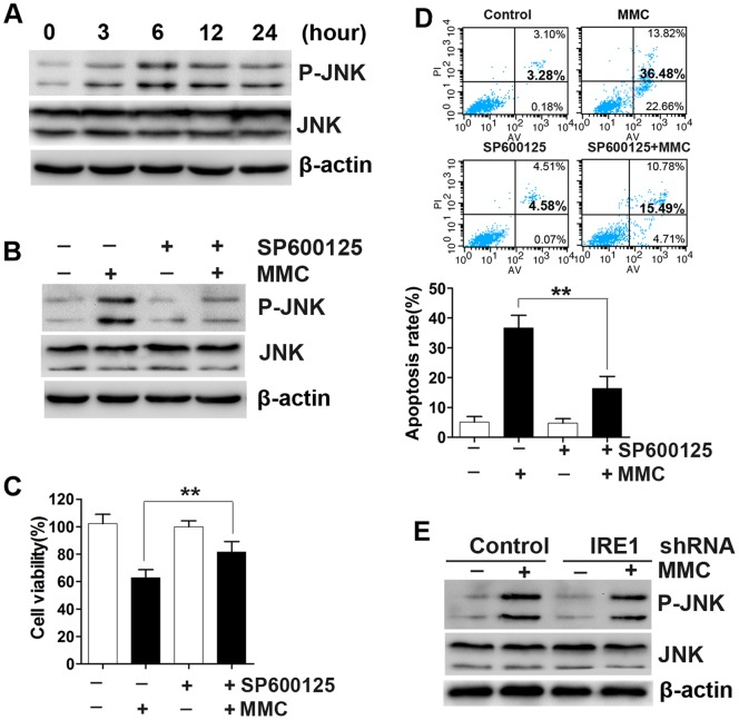 The IRE1 pathway is not necessary for MMC-induced JNK activation. (A) JNK activation in response to MMC treatment (0.4 mg/ml, 5 minutes) was detected at various times by Western blotting. (B) Fibroblasts were pretreated with a 5 µM concentration of the JNK inhibitor SP600125, then treated with MMC (0.4 mg/ml, 5 minutes). The expression of P-JNK, JNK, and β-actin (loading control) was measured by Western blotting 24 hours after MMC treatment. (C) Cell viability and (D) apoptosis rates were quantified using CCK-8 kit assays and Annexin <t>V/propidium</t> iodide double staining, 48 hours after MMC treatment. The histograms represent the mean ± SD of three independent experiments. **P
