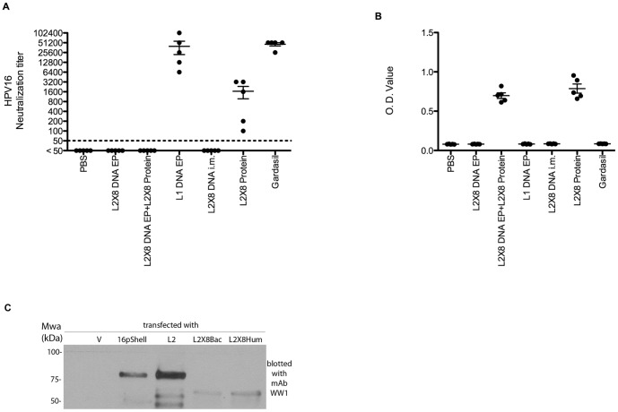 Neutralizing antibody titer and antibody response of sera from mice vaccinated with L1 or L2×8 delivered as protein or a DNA vaccine via electroporation. Balb/c mice were vaccinated three times at two week intervals with PBS, 10 µg L2×8 DNA vaccine i.m. with electroporation three times, or twice utilizing 10 µg HPV16 L1 DNA vaccine i.m. with electroporation followed by a single boost with 25 ug L2×8 protein in alum s.c., 10 µg HPV16 L1 DNA vaccine i.m. with electroporation three times, three times with 10 µg L2×8 DNA vaccine i.m., or 25 ug L2×8 protein in alum s.c., or Gardasil s.c.,,. Serum samples were collected two weeks after the third vaccination, and were tested for in vitro HPV16 neutralization titer (A) and antibody response to HPV16 L2 (B) as measured by ELISA. (C) To assess relative levels of expression, 293TT cells were transfected with no plasmid, HPV16 L1+L2 DNA in pShell, full length HPV16 L2 DNA in p16L2h, bacterial codon optimized L2×8 DNA in pcDNA, or human codon optimized L2×8 in pcDNA. 293TT cells were lysed two days after transfection. Western blotting was performed with lysate samples using a monoclonal antibody to HPV16 L2 17–36.