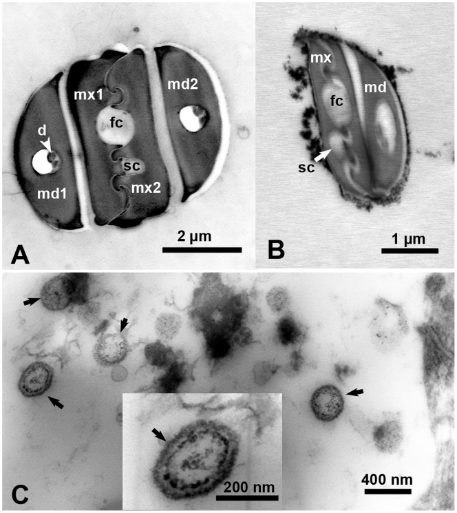 Electron micrographs of ultrathin cross sections in the stylets of a psyllid adult (A), stylets of 1 st instar nymph (B), and in the phloem of a LAS-infected citrus leaf (C). Unlabeled arrows (in C) indicate bacterial structures found in the phloem of infected leaves. Abbreviations: d, dendrites; fc, food canal; md1 2, mandibular stylets 1 2; mx1 2, maxillary stylets 1 2; sc, salivary canal.