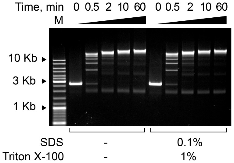 The kinetics of the ligation reaction in the presence or absence of SDS. Electrophoretic separation of the products obtained upon the ligation of pUC18 Hind III fragments for the indicated times in the presence or absence of SDS and Triton X-100 in an ethidium bromide-stained agarose gel. The reaction was carried out in 1× <t>T4</t> DNA Ligase Buffer (Fermentas) with 100 ng/ µl DNA and 0.1 U/ µl T4 DNA ligase (Fermentas). M–DNA size marker (Fermentas, SM0331).