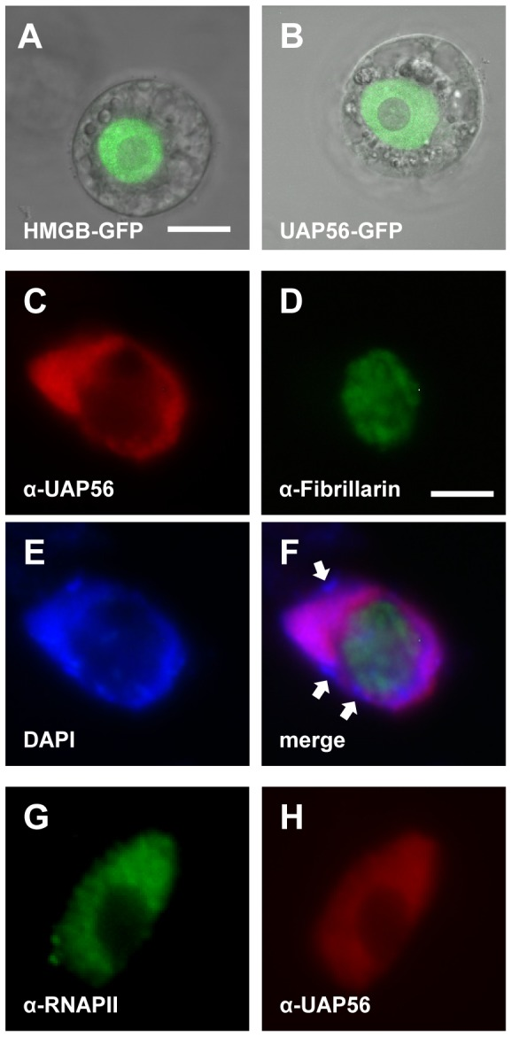 Arabidopsis UAP56 localises to the nucleus in protoplasts and root cells. Tobacco BY2 cell protoplasts were transformed with constructs driving the expression of the indicated <t>GFP</t> fusion proteins and GFP fluorescence was visualised by <t>CLSM</t> ( A,B ; size bar: 10 µm). GFP fluorescence of a nuclear HMGB protein and overlay with the corresponding bright field image ( A ). GFP fluorescence of a UAP56-GFP fusion ( B ). Analysis of Arabidopsis Col-0 root tip cells by immunofluorescence microscopy using different antibodies and DAPI staining ( E – H , size bar: 5 µm). Immunostaining of fibrillarin and UAP56, as well as visualisation of the DNA by DAPI staining of the same nucleus ( C – E ). A merge of the three images is shown in ( F ) and examples of brightly DAPI-stained heterochromatic chromocenters are indicated by arrows. Immunostaining of RNAPII and UAP56 of the same nucleus ( G,H ).