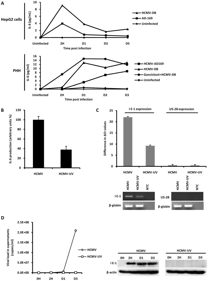 HCMV induces secretion of IL-6 by HepG2 cells and PHH. (A) ELISA quantification of IL-6 levels in the culture supernatants of HepG2 cells and PHH left uninfected or infected with HCMV strains AD169 and HCMV-DB (MOI = 1). Where specified, cells were treated with ganciclovir (5 microg/ml). Results are representative of two independent experiments. (B) Decreased IL-6 production in culture supernatants of HepG2 cells treated with UV-inactivated HCMV in comparison cells infected with live HCMV . HCMV strain AD169 was used at a MOI = 1 and IL-6 production measured at day 3 post-infection was expressed arbitrarily as 100% in cell cultures infected with live virus. Results represent means (± SD) of two independent experiments. (C) Decreased IE1 transcript expression in HepG2 cells treated with UV-inactivated HCMV in comparison with live HCMV . HCMV strain AD169 was used at a MOI = 1 and IE1 and US28 transcripts were amplified by RT-PCR. Difference in DeltaCt values of two independent experiments is shown. Results represent means (± SD) of two independent experiments. (D) Decreased HCMV replication and IE1 protein expression in MRC-5 cells infected with UV-inactivated HCMV in comparison with cells infected with live HCMV . HCMV strain AD169 was used at a MOI = 1. Viral titers were determined in the culture supernatants at the indicated times post-infection by real-time PCR. IE1 pp72 antigen expression was measured up to day 3 postinfection by Western blotting, as described in the Materials and Methods section. <t>beta-actin</t> was used as control. Results are representative of two independent experiments.
