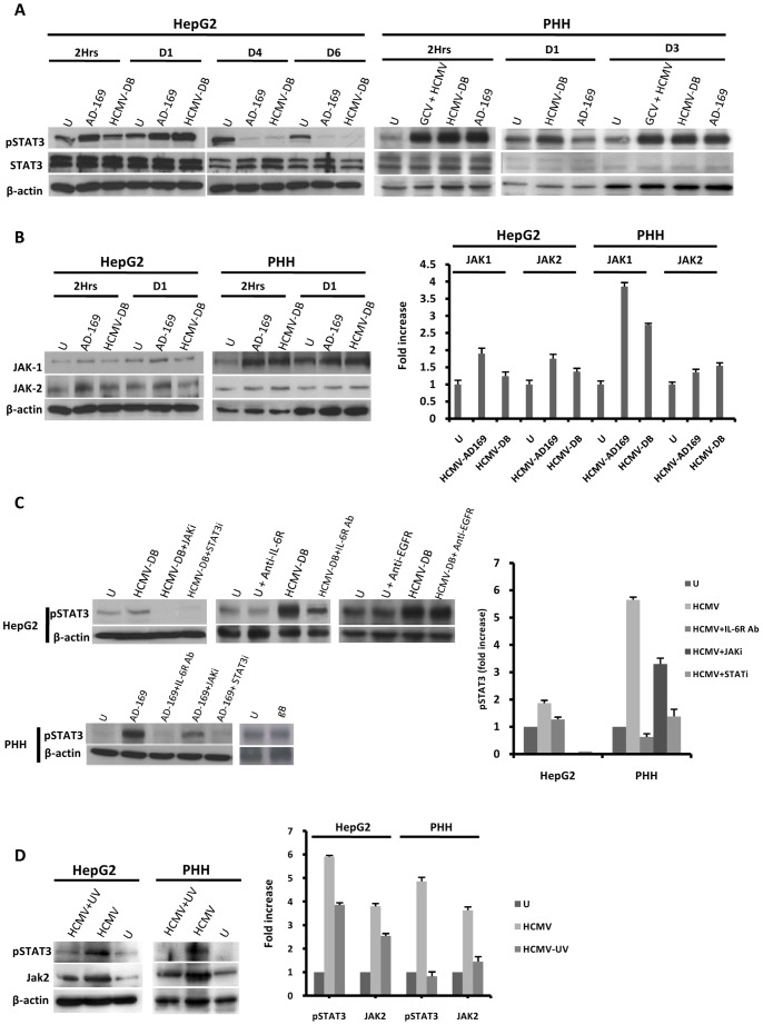 HCMV induces IL-6-mediated activation of the JAK-STAT3 axis in HepG2 cells and PHH. (A) Time course of STAT3 activation in HepG2 cells and PHH infected with HCMV. HepG2 cells (6×10 6 cells) were left uninfected or infected with HCMV strains AD169 and HCMV-DB (MOI = 0.5). PHH (2×10 6 cells) were left uninfected or infected with HCMV strains AD169 and HCMV-DB (MOI = 1). STAT3 activation was measured by Western blotting as described in the Materials and Methods section. Unphosphorylated STAT3 and beta-actin were used as controls, and ganciclovir was used at a concentration of 5 microg/ml. (B) Time course of JAK1/JAK2 activation in HepG2 cells and PHH infected with HCMV. HepG2 cells (6×10 6 cells) were left uninfected or infected with HCMV strains AD169 and HCMV-DB (MOI = 0.5). PHH (2×10 6 cells) were left uninfected or infected with HCMV strains AD169 and HCMV-DB (MOI = 1). JAK1/JAK2 activation was measured by Western blotting, and beta-actin was used as an internal control. The histogram shows JAK activation at 2 hours post-infection as quantified using Image J 1.40 software. (C) STAT3 activation is mediated by the IL-6-JAK pathway in HepG2 cells and PHH infected with HCMV. HepG2 cells (6×10 6 cells) and PHH (2×10 6 cells) were left uninfected or infected with HCMV (MOI = 0.5) in the presence or absence of a JAK inhibitor (1 micromol/l), a STAT3 inhibitor (10 micromol/l), a neutralizing anti-IL-6R mAb (10 microg/ml), and a neutralizing anti-EGFR mAb (20 microg/ml). Cells were left uninfected or incubated with the recombinant HCMV glycoprotein gB (10 microg/ml) for 2 hours. STAT3 activation was measured by Western blotting at day 1 post-infection in PHH incubated with JAK inhibitor, STAT3 inhibitor, anti-IL-6R mAb, and in HepG2 cells incubated with JAK and STAT3 inhibitors. STAT3 activation was measured at 2 hours post-infection in HepG2 cells incubated with anti-IL-6R mAb and anti-EGFR mAb. beta-actin was used as an internal control. The histogram shows STAT3 activation as quantified using Image J 1.40 software. (D) STAT3 activation is mediated primarily by HCMV in HepG2 cells and PHH . HepG2 cells (6×10 6 cells) and PHH (2×10 6 cells) were left uninfected or infected with HCMV or UV-inactivated HCMV (AD169, MOI = 1). The activation of STAT3 and JAK2 was measured by western blot at day 3 post-infection. beta-actin was used as a control for equal loading. The histogram shows STAT3 and JAK2 activation as quantified using Image J 1.40 software. Results of western-blots are representative of two independent experiments; histograms represent means (± SD) of two independent experiments. Ab: Antibody; EGFR: Epidermal growth factor receptor; GCV: ganciclovir.