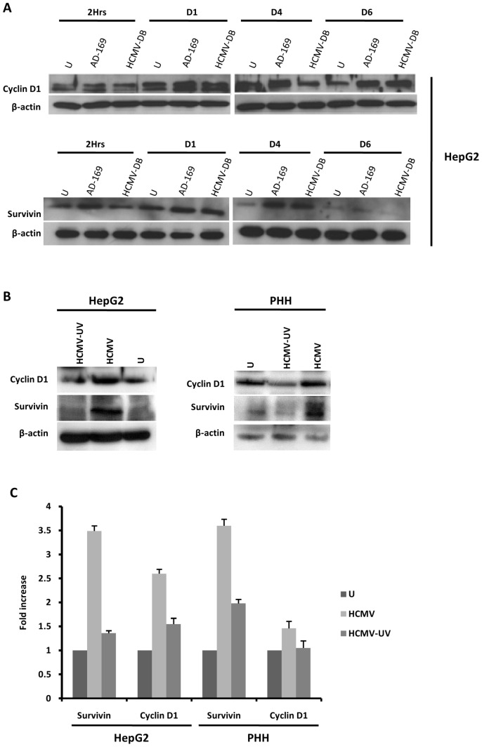 Up-regulation of cyclin D1 and survivin in HepG2 cells and PHH infected with HCMV. (A) Time course of the expression of cyclin-D1 and survivin in HepG2 cells infected with HCMV. HepG2 cells (6×10 6 cells) were left uninfected or infected with HCMV strains AD169 (MOI = 0.5) and HCMV-DB (MOI = 1.0). Cyclin D1 and survivin expression was measured by Western blotting as described in the Materials and Methods , and beta-actin was used as an internal control. (B) Expression of cyclin-D1 and survivin in PHH and HepG2 cells infected with live HCMV or UV-inactivated HCMV . HepG2 cells (6×10 6 cells) and PHH (2×10 6 cells) were left uninfected or infected with HCMV or UV-inactivated HCMV (AD169, MOI = 0.5). Cyclin D1 and survivin expression was measured by Western blotting as described in the Materials and Methods , and beta-actin was used as an internal control. (C) Expression of cyclin D1 and survivin is mediated primarily by HCMV in HepG2 cells and PHH. The histogram shows survivin and cyclin D1 expression at day 3 post-infection as quantified using Image J 1.40 software. Results of western-blots are representative of two independent experiments; histogram represents means (± SD) of two independent experiments.