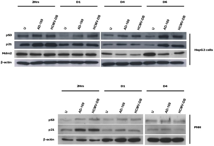 HCMV upregulates p53 and p21 in HepG2 cells and PHH. Time course of p53, p21 and Mdm2 in HepG2 cells and PHH infected with HCMV. HepG2 cells (6×10 6 cells) and PHH (2×10 6 cells) were left uninfected or infected with HCMV strains AD169 and HCMV-DB at MOI = 0.5 and 1, respectively. P53, p21 and Mdm2 protein expressions were measured by Western blotting, and beta-actin was used as an internal control. Results are representative of two independent experiments.