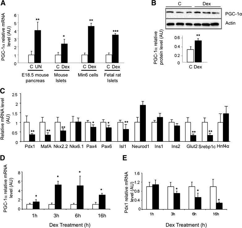 GCs stimulate PGC-1α and inhibit Pdx1 in β-cells. A : PGC-1α expression in fetal pancreata at 18.5 days of pregnancy (E18.5) in control (C, white bars) or GCs overexposure conditions induced by maternal under nutrition (UN, black bars), in mouse islets, Min6 cells, and fetal rat islets cultured in control conditions (C, white bars) or treated with Dex (black bars) for 24 h. B : PGC-1α protein levels in mouse islets cultured in control conditions (C, white bar) or treated with Dex (black bar). C : Gene expression in Min6 cells cultured in control (white bars) or Dex-treated (black bars) conditions for 24 h. Time course effect of Dex on PGC-1α ( D ) and Pdx1 ( E ) expression measured after 1, 3, 6, and 16 h in control (white bars) or Dex-treated (black bars) Min6 cells. Results are expressed as means ± SD for n = 4 independent experiments. * P
