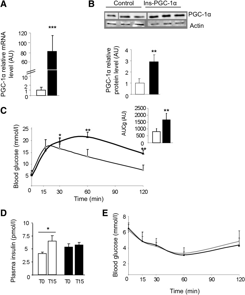 PGC-1α overexpression in β-cells impairs glucose tolerance. PGC-1α mRNA ( A ) and protein levels ( B ) in islets from control mice (white bars) and Ins-PGC-1α mice (black bars). C : The ipGTT of Ins-PGC-1α (black triangles) is compared with control mice (white circles). The inset shows the area under the curve from 0 to 120 min of plasma glucose of these mice. D : Serum insulin levels before and 15 min after glucose injection in control (white bars) and Ins-PGC-1α (black bars) mice. E : Insulin tolerance test was performed in Ins-PGC-1α (black triangles) and control (white circles) mice. All values are means ± SD. * P