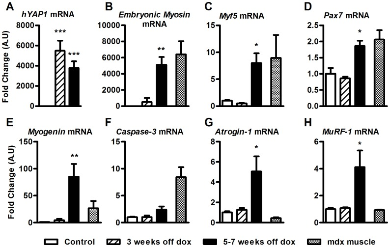 Up regulation in genes associated with muscle regeneration and atrophy in MCK-tTA-hYAP1 S127A mice. TA muscles of transgenic mice were harvested following doxycycline withdrawal at indicated time points and RNA processed for qRT-PCR analysis of A) hYAP1 mRNA, B) embryonic myosin heavy chain, C) Myf5 mRNA, D) Pax7 mRNA, E) myogenin mRNA, F) Caspase-3 mRNA, G) Atrogin-1 mRNA and H) MuRF-1 mRNA. Expression normalised to Gapdh. All values present mean ±SEM (n = 12) and are displayed as fold change relative to control. ***P