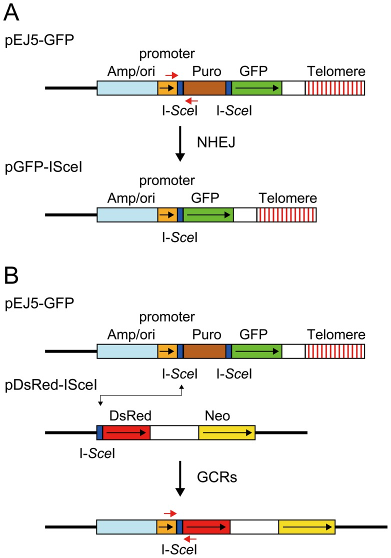 The structure of the plasmids used to monitor NHEJ, GCRs, and large deletions. (A) NHEJ was monitored using the pEJ5-GFP plasmid integrated at interstitial (not shown) or telomeric sites (shown). pEJ5-GFP contains a GFP gene that is initially inactive due to the presence of a puromycin-resistance (puro) gene located between the GFP gene and its promoter. NHEJ occurring between the distal ends of the I- Sce I-induced DSBs at either end of the puro gene results in the activation of the GFP gene. A PCR product generated with oligonucleotide primers spanning one of the I- Sce I sites in the pEJ5-GFP plasmid (red arrows) was digested with I- Sce I endonuclease to determine the frequency of small deletions at a single I- Sce I-induced DSB. Cell clones containing the pGFP-ISceI plasmid integrated at interstitial sites (not shown) or telomeric sites (shown) were used for analysis of large deletions that inactivate the GFP gene. (B) GCRs were monitored using cell clones that contain the pEJ5-GFP plasmid integrated at an interstitial (not shown) or telomeric (shown) site and the pDsRed-ISceI plasmid integrated at an interstitial site at a different location in the genome. The DsRed gene in the pDsRed-ISceI plasmid is initially inactive due to the lack of a promoter, but becomes activated following NHEJ between the I- Sce I-induced DSBs in the pEJ5-GFP and pDsRed-ISceI plasmids. The location of oligonucleotide primers used for PCR to analyze the junctions between the pEJ5-GFP and pDsRed-ISceI plasmids are shown (red arrows). The location of the ampicillin gene and plasmid origin of replication (Amp/ori), chicken β-actin promoter (promoter), puro gene (Puro), GFP coding sequence (GFP), and telomere are shown. Also show is the genomic DNA (solid line), directions of transcription (black arrows), and I- Sce I recognition sites (I- Sce I).