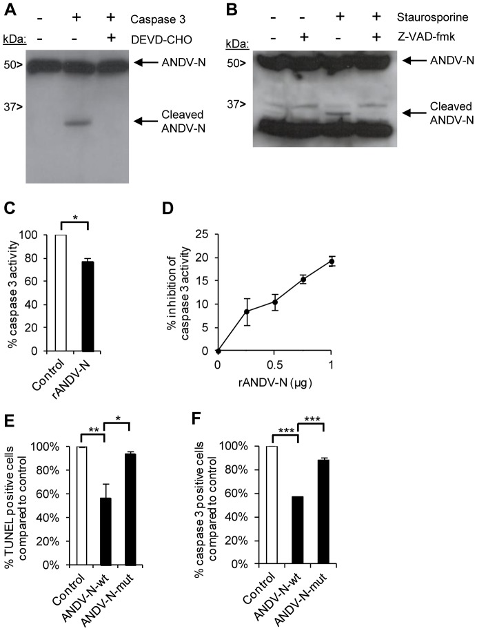 ANDV nucleocapsid protein inhibits caspase 3-activity. Analysis of possible interactions between ANDV nucleocapsid protein and caspase 3. ( A ) Western blot analyses showing a cleaved fragment of the ANDV nucleocapsid protein (ANDV-N) after incubation with recombinant caspase 3 in the presence or absence of the caspase 3-inhibitor DEVD-CHO. Full-length and cleaved ANDV-N was visualized with the mAb 7B3/F7. One representative experiment out of three is shown. ( B ) ANDV-infected A549 cells were left untreated or treated with staurosporine, in the presence or absence of the caspase-inhibitor Z-VAD-fmk. Lysed cells were then subjected to Western blot analyses to visualize cleavage of the viral ANDV nucleocapsid protein (ANDV-N) after staurosporine-treatment. Full-length and cleaved ANDV-N was visualized with the mAb 7B3/F7. One representative experiment out of three is shown. ( C ) Caspase 3-activity was measured after pre-incubation of recombinant caspase 3 with recombinant ANDV nucleocapsid protein (rANDV-N) or with control protein (rDHFR) for 30 minutes. Level of caspase 3-activity after co-incubation with rDHFRS represent maximal caspase 3 activity. Level of caspase 3-activity after co-incubation of caspase 3 with rANDV-N was compared with caspase 3-activity after co-incubation with rDHFRS. Data shown are mean ± SEM of three independent experiments carried out in duplicate. Two-tailed Student's t test was used for statistical evaluation; * p