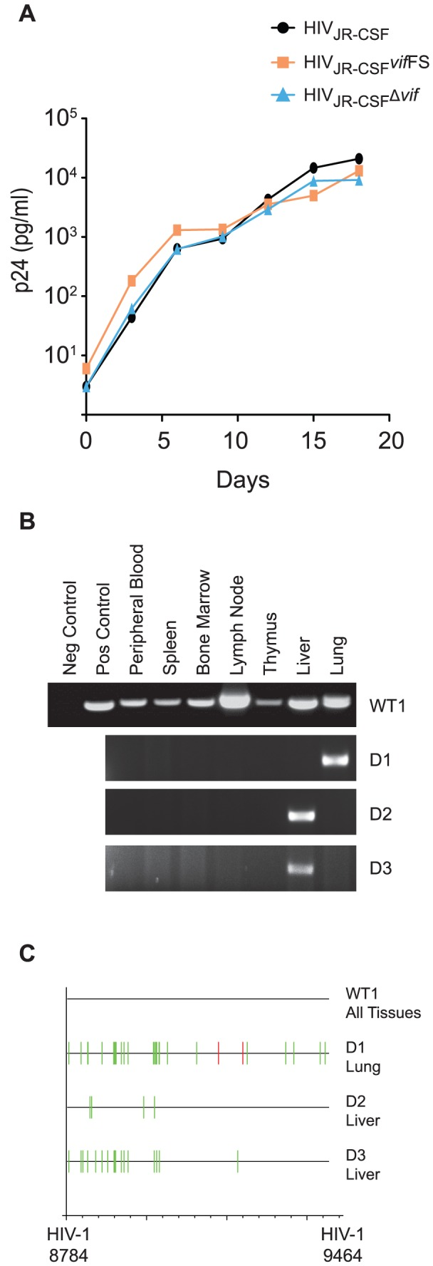 Human APOBEC3 rapidly restricts vif -deleted HIV-1 JR-CSF in vivo . (A) Replication of HIV JR-CSF , HIV JR-CSF Δ vif , and HIV JR-CSF vif FS in CEM-SS cells expressing CCR5 (CEM-SS CCR5). Culture supernatant was assayed for p24 Gag by ELISA at three day intervals to determine the replication kinetics of the mutant viruses. (B) Nested PCR amplification of viral DNA from the tissues obtained one week post-exposure from a representative NSG-hu mouse infected with 9×10 4 TCIU of wild-type HIV-1 JR-CSF (WT1) or from three mice infected with 3.6×10 5 TCIU of HIV JR-CSF Δ vif (indicated as D1–3). (C) Highlighter sequence analysis of 7 wild-type and 3 Δ vif HIV DNA sequences. Amplified viral DNA from panel A showed no APOBEC3 induced mutations in HIV JR-CSF (WT1 all sequence from tissues is shown together). In contrast, viral DNA from all positive tissues obtained from HIV JR-CSF Δ vif infected mice had G to A (green lines) and/or C to T mutations (red lines). HIV-1 JR-CSF nucleotide numbers are indicated at the bottom.