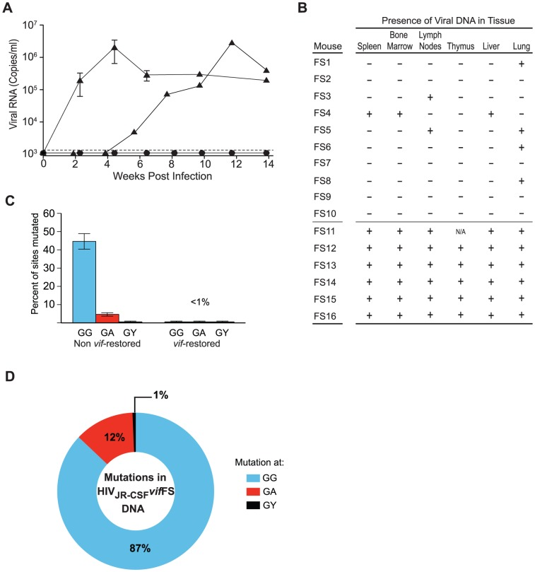 Human APOBEC3 exerts a strong selective pressure on HIV-1 JR-CSF containing a frameshift in vif . (A) Plasma viral load analysis in humanized mice intravenously infected with 9×10 4 or 3.6×10 5 TCIU of HIV JR-CSF vif FS. Viral RNA was not detected in the plasma (circles, n = 10) unless the vif ORF is restored (triangles, n = 6). The appearance of plasma viremia was delayed by 4 weeks in one of these mice. (B) Detection of HIV DNA (+) by nested PCR from the tissues of humanized mice intravenously infected with HIV JR-CSF vif FS. Negative tissues (−) yielded no amplified viral DNA using two independent nested PCR primer sets targeting separate regions of the viral genome. Viral DNA is sparsely present in tissues from mice where vif was not restored (indicated as FS1–10). In contrast, all tissues analyzed from the six mice where vif was restored had viral DNA present (FS11–16). N/A = not analyzed. (C) Percentage of putative APOBEC3 mutation sites ( G G, G A, G Y) that were mutated in 76 viral DNA sequences amplified from the tissues of HIV JR-CSF vif FS infected mice where vif was not restored (40% of all G G sites mutated) or mice where vif was restored (no hypermutation). Data represent mean +/− SEM. (D) G to A mutational profile of all viral DNA from mice infected with HIV JR-CSF Δ vif . Percentages indicate the proportion of G to A mutations occurring at G G (blue), G A (red), or G Y (black) sites. FS1–FS9, FS11–FS14, NSG-hu mice. FS10, FS15–FS16 NSG-BLT mice.