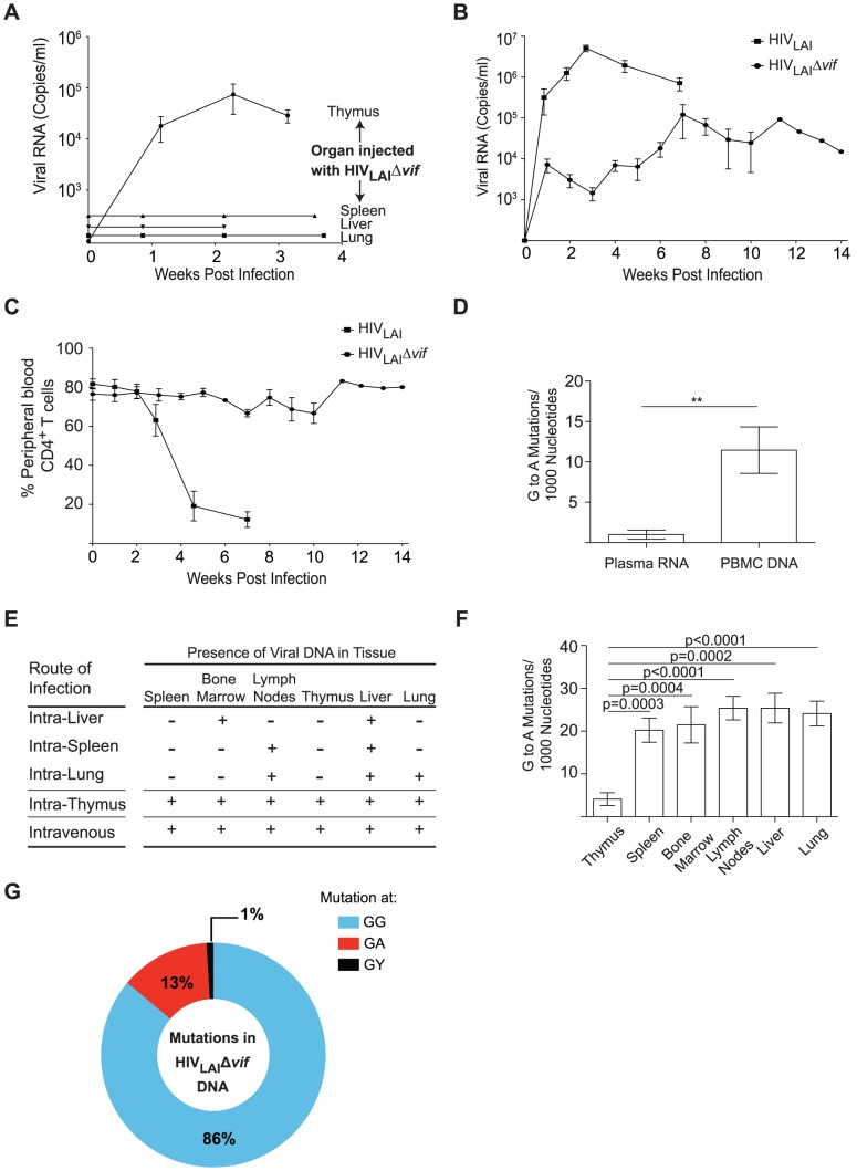 Sustained Vif-independent replication of CXCR4 tropic HIV-1. (A) Plasma viral load was monitored in NSG-BLT humanized mice infected with 3.6×10 5 TCIU HIV LAI Δ vif directly into the human thymic implant, spleen, liver, or lung. Direct injection of HIV LAI Δ vif into the thymus resulted in plasma viremia in 4/4 infections. (B) Longitudinal analysis of plasma viral load in humanized mice infected intravenously with 3.6×10 5 TCIU of HIV LAI Δ vif (n = 7) or 3–9×10 4 TCIU of wild-type HIV LAI (n = 6). Data represent mean +/− SEM. (C) Longitudinal analysis of the percentage of CD4 + T cells in the peripheral blood of humanized mice infected in panel B. (D) Comparison of the G to A mutation frequency in the viral RNA from the plasma and the viral DNA from peripheral blood cells from mice intravenously infected with HIV LAI Δ vif . Data represent mean +/− SEM from 18 sequences, ** p = 0.0066. (E) Detection of HIV DNA (+) by nested PCR from the tissues of BLT humanized mice in panels A and B. Negative tissues (−) yielded no amplified viral DNA using two independent nested PCR primer sets targeting separate regions of the viral genome. Direct injection of HIV LAI Δ vif into the liver, lung or spleen resulted in limited tissue distribution of viral DNA. (F) Comparison of the G to A mutation frequency in viral DNA from the thymus compared to viral DNA from other tissues of mice infected intrathymically (n = 4) and intravenously (n = 7) with HIV LAI Δ vif . Data represent mean +/− SEM from 83 sequences. (G) G to A mutational profile of all viral DNA from mice infected with HIV LAI Δ vif . Percentages indicate the proportion of G to A mutations occurring at G G (blue), G A (red), or G Y (black) sites.