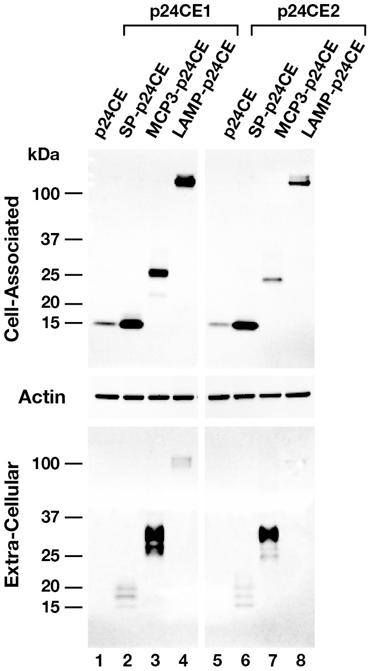 Expression of the p24CE plasmids upon transient transfection in cultured cells. Plasmid DNA (1 µg) expressing different variants of either p24CE1 (left panel) or p24CE2 (right panel) proteins were transfected in HEK293 cells. The cultures were harvested 24 hrs later and proteins from equal amounts (1/250) from the cell-associated (top panel) and extra-cellular (bottom panel) fractions were resolved on a 12% NuPAGE Bis-Tris gel and analyzed by Western immunoblot using a goat anti-p24 gag antiserum and visualized using enhanced ECL. The membrane containing the cell-associated fractions was also probed with anti-human pan actin antibody to control for equal loading of the samples.
