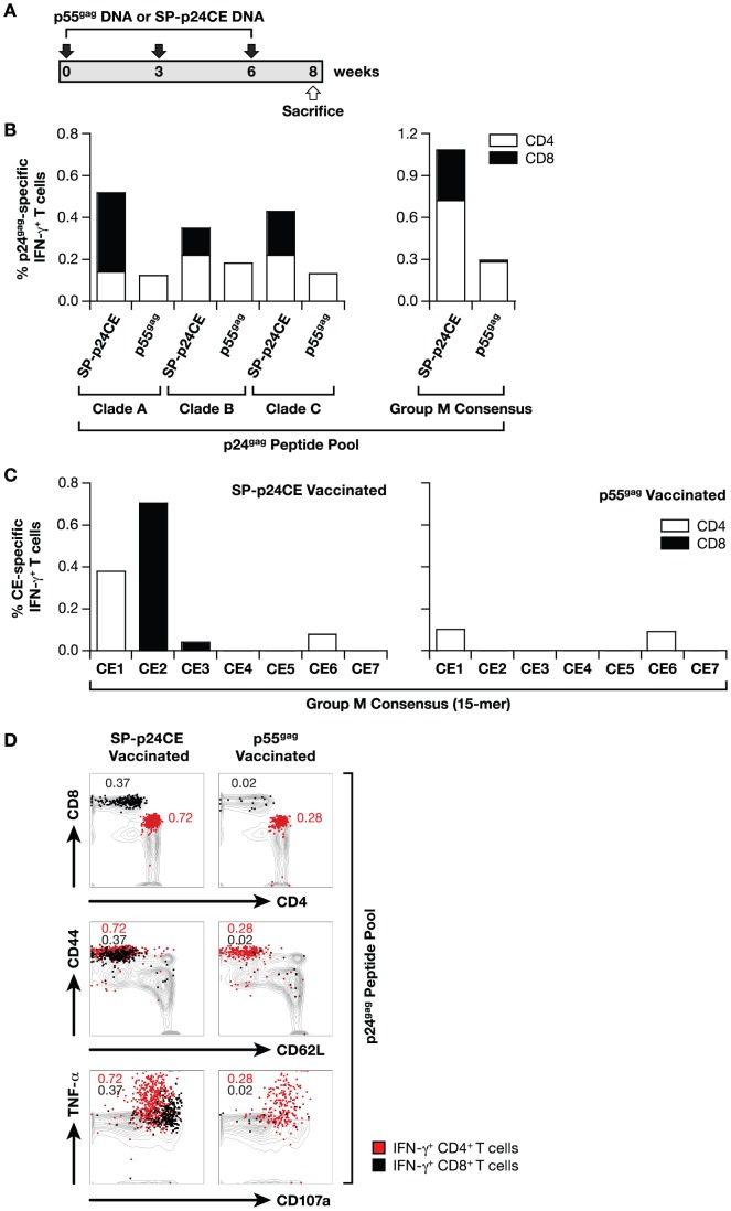 Phenotypic and functional analysis of T cell responses generated by p55 gag and p24CE DNA vaccination. (A) Mice (N = 5/group) were vaccinated 3 times (week 0, 3 and 6) with 20 µg of a plasmid expressing HXB2 p55 gag (clade B) or 20 µg of a mixture of plasmids expressing SP-p24CE1 and SP-p24CE2. The mice were sacrificed 2 weeks after the last immunization. Three independent experiments were performed and a representative experiment is shown. ( B ) Pooled splenocytes were stimulated with Clade A, B or C peptide pools (15-mers) spanning the p24 gag region (left panel) and the Group M consensus peptide pool (right panel). The frequency of the CD4 + (open bars) and CD8 + (filled bars) p24 gag -specific IFN-γ producing T cells was determined. ( C ) The splenocytes from the SP-p24CE (left panel) and p55 gag (right panel) DNA vaccinated mice were stimulated with peptide pools specific for the individual CEs. The frequency of the CD4 + (open bars) and CD8 + (filled bars) CE-specific IFN-γ producing T cells was determined. ( D ) Plot overlays show the phenotypic and functional characterization of the antigen-specific T cells induced by SP-p24CE (left panels) and p55 gag (right panels) DNA vaccines upon stimulation with p24 gag –specific peptide pool. Total T cells recovered from the spleen are shown as grey contours, and the antigen-specific IFN-γ + T cells are overlaid as red (CD4 + T cells) or black (CD8 + T cells) dots. The plots show the CD4/CD8 distribution (top panel), memory phenotype as determined by CD44/CD62L staining (middle panel) and TNF-α/CD107a expression (bottom panel) among the T cells from vaccinated mice. The frequency of CD4 (red) and CD8 (black) IFN-γ T lymphocytes is shown.