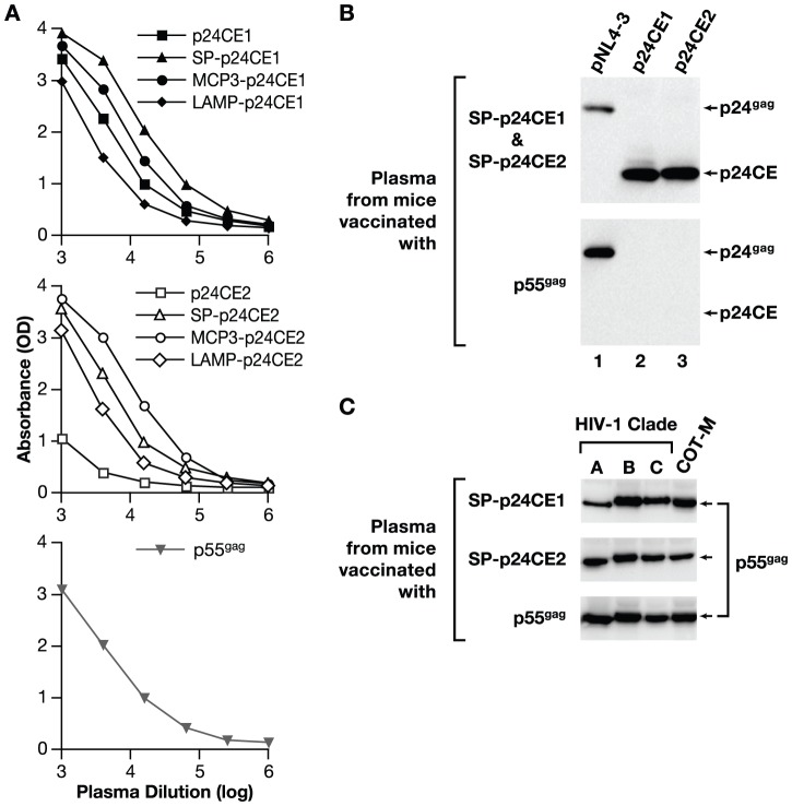 Humoral immune responses in p24CE DNA vaccinated mice. ( A ) Anti-HIV-1 p24 gag antibodies were measured in plasma from p24CE and p55 gag DNA vaccinated C57BL/6 mice by a standard clade B p24 gag ELISA. The graphs show absorbance (optical density, OD) and pooled plasma samples dilutions from mice vaccinated with the different p24CE1 plasmids (top panel), p24CE2 plasmids (middle panel), or p55 gag DNA (bottom panel). ( B ) Humoral responses induced upon SP-p24CE or p55 gag DNA vaccination in mice were analyzed by Western immunoblot assays. The membranes contain p24 gag protein collected from supernatants of HEK293 cells transfected with 5 µg of the infectious molecular clone pNL4-3 (lane 1) or the p24CE proteins collected from the cell-associated fractions of cells transfected with SP-p24CE1 and SP-p24CE2 plasmids (lanes 2 and 3, respectively). The membranes were probed with plasma (1∶5000 dilution) from mice vaccinated with a mixture of SP-p24CE1 2 DNAs (top panel) or p55 gag DNA (bottom panel) followed by anti-mouse IgG-HRP labeled antibody and visualized by ECL. ( C ) Detection of humoral responses to full-length p55 gag in mice vaccinated with p24CE or p55 gag DNA by Western immunoblot assay. The p55 gag proteins were obtained from HEK293 cells transfected with 0.5 µg of RNA/codon optimized plasmids expressing unprocessed p55 gag from clades A, B and C or COT-M, respectively. The proteins were resolved on 10% NuPAGE Bis-Tris gels, and the membranes were probed with plasma (dilution 1∶200) from mice immunized with DNAs expressing the secreted p24CE proteins SP-p24CE1 (top panel), SP-p24CE2 (middle panel) and p55 gag (bottom panel).