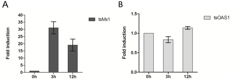 Induction of ISGs by tsIFN-λ3 in TS-K5 cells. Cells were stimulated with tsIFN-λ3 containing (or mock containing) TS-K5 cell medium for 6h. Cellular RNA was extracted and mRNA level of tsOAS1 (A) and tsMx1 (B) was measured by qRT-PCR. Data are shown as fold change of expression obtained from comparison of the tsIFN-λ3 stimulated and normal lipofectamine™ 2000-treated culture medium.