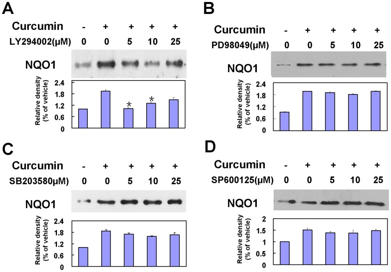 Effects of PI3K/Akt activation on curcumin-induced NQO1 expression. A–D: Effects of inhibitors of PI3K and MAPKs on curcumin-induced NQO1 protein expression. Cortical neurons were post-treated with various concentrations of (A) LY294002, (B) SB203580, (C) SP600125, or (D) PD98059 and were incubated with 5 µM curcumin for 24 h. Data were normalized by vehicle group as 100%. Bars represent the means±SE (n = 4–6), *p