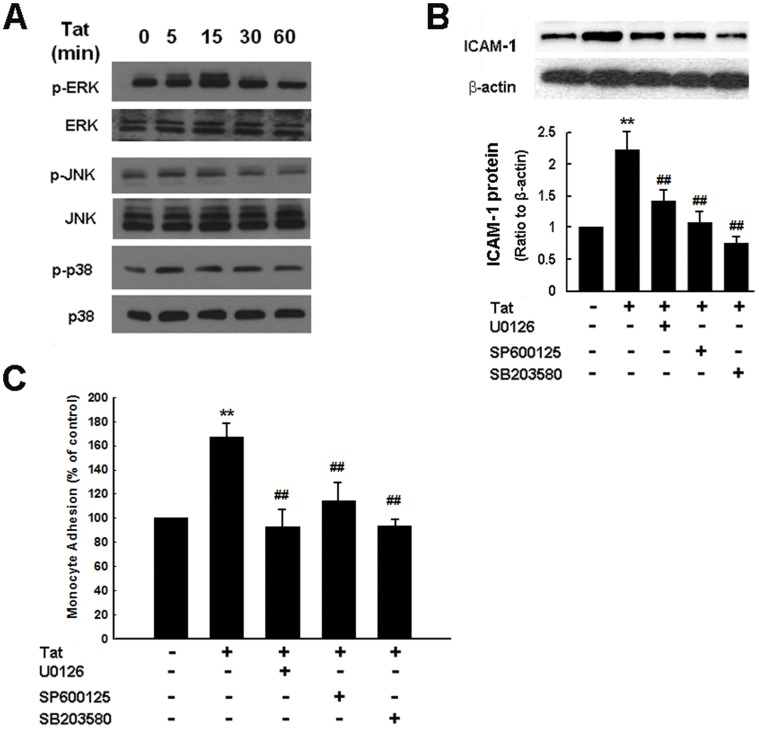Tat-mediated induction of ICAM-1 expression involves MAPK signaling pathways. ( A ) Western blot analysis demonstrated time-dependent activation of ERK, JNK and p38 by Tat in HUVECs. ( B ) Inhibition of the ERK, JNK and p38 MAPK pathways by MEK1/2 (U0126, 20 µM), JNK (SP600125, 20 µM) and p38 (SB203580, 20 µM) inhibitors resulted in amelioration of Tat-mediated induction of ICAM-1 expression. ( C ) Pharmacological inhibition of MAPK pathways by MEK1/2 (U0126, 20 µM), JNK (SP600125, 20 µM) and p38 (SB203580, 20 µM) resulted in amelioration of Tat-mediated induction of monocyte adhesion. All the data are presented as mean ± SD of three independent experiments. **p