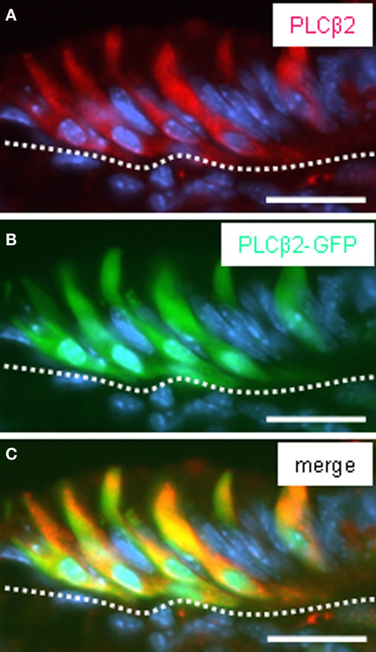 """Pattern of GFP fluorescence in transgenic PLCβ2 promoter-GFP mice correlates with endogenous PLCβ2 expression in cells of the corpus mucosa adjacent to the fundus compartment. (A–C) Analysis of cross sections through the fundus/corpus transition zone of <t>PLCβ</t> 2 promoter-GFP transgenic mice. PLCβ 2-immunostaining (red) (A) reveals a cluster of elongated cells located in the most apical layer of the corpus mucosa (denoted by the white dotted line ) adjoining the fundus epithelium. Intrinsically green fluorescent cells (B) are located in the same regions within the mucosa and display the morphology of cells visualized by the PLCβ 2 antibody. Overlay (C) of (A) and (B) clearly demonstrates the coexpression of PLCβ2 and GFP in a subset of cells. The cells exhibit very long apical processes extending into the lumen of the """"gastric groove."""" Sections were counterstained with DAPI ( blue ). Scale bars: (A–C) = 20 μm."""
