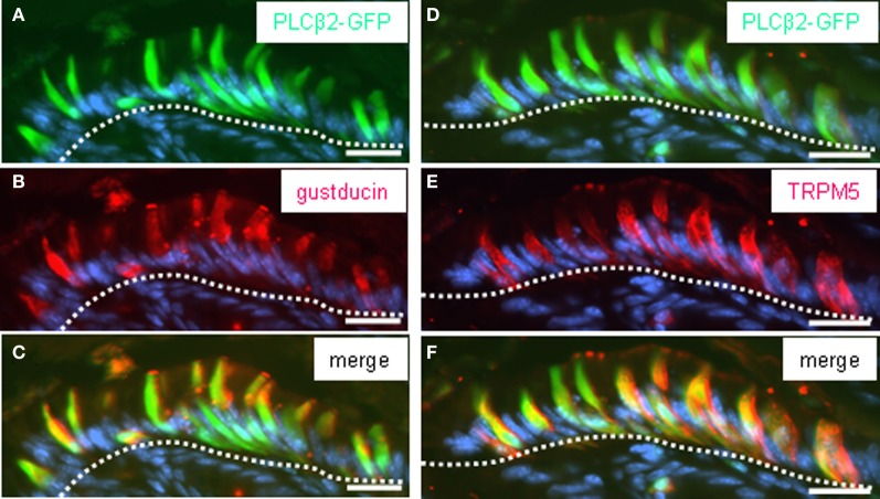 """PLCβ2-GFP-expressing cells of the corpus mucosa underneath the """"limiting ridge"""" are immunoreactive for gustducin and TRPM5. (A–C) Distribution pattern of gustducin (red ) was assessed on cross sections through the corpus mucosa adjoining the fundus tissue of PLCβ 2 promoter-GFP transgenic mice. The white dotted line borders the most apical cell layer from the residual corpus mucosa. Cluster of cells immunostained for gustducin (B) underneath the """"limiting ridge"""" exhibit an elongated cylindrical morphology and strongly labeled apical microvilli tufts. Pattern of intrinsic GFP fluorescence (A) is reminiscent of the labeling pattern obtained with the gustducin antibody (B) . Overlay (C) of (A) and (B) shows that a subpopulation of cells express both gustducin and GFP. (D–F) Consecutive sections to that shown in (A–C) stained with the TRPM5 antibody ( red ). TRPM5-immunoreactivity reveals a cluster of cells (E) resembling that of PLCβ2-GFP-expressing cells (D) , in both morphology and position, respectively. Overlay (F) of (D) and (E) indicates a complete overlap of GFP and TRPM5 in a subpopulation of corpus mucosal cells. Sections were counterstained with DAPI ( blue ). Scale bars : ( A–F ) = 20 μm."""
