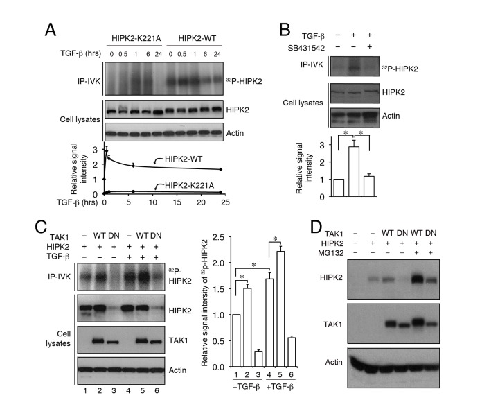 TGF-β–TAK1 promotes HIPK2 activity through protein–protein interaction and protects HIPK2 from proteasome-mediated degradation. (A) TGF-β promotes HIPK2 kinase activity in HEK293T cells, whereas kinase inactive HIPK2-K221A shows no incorporation of γ- 32 P-ATP upon TGF-β treatment. (B) The ability of TGF-β to activate HIPK2 kinase activity can be blocked by TGF-β type I receptor inhibitor SB431542. (C and D) TGF-β and wild-type TAK1 activate HIPK2 kinase and maintain the stability of HIPK2 protein. In contrast, dominant negative TAK1 (DN-TAK1) promotes HIPK2 degradation via the proteasome pathway.