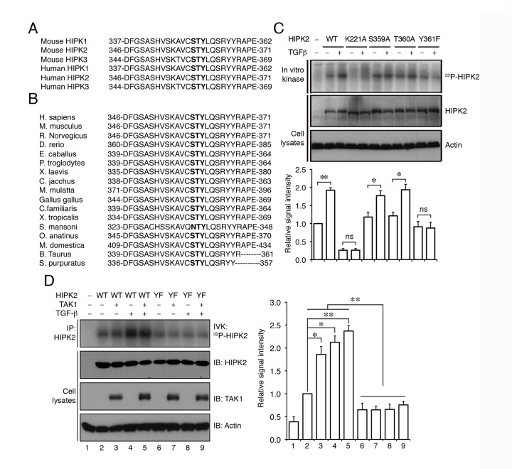 TGF-β activates HIPK2 by phosphorylating a highly conserved tyrosine residue on position 361. (A) Amino acid sequence alignment of the HIPK protein family from human and mouse reveals a stretch of highly conserved residues from position 346 to 371 in the activation segment of the subdomain VII in HIPK2. (B) Alignment of the similar regions of HIPK2 (346 to 371) from different species confirms that these amino acid residues are highly conserved from nematodes to the vertebrates. Conserved amino acids that can potentially be phosphorylated in MAPK signaling pathway are shown in bold. (C) The combined immunoprecipitation and in vitro kinase (IP-IVK) assays show that TGF-β treatment promotes the ability of wild-type HIPK2 to incorporate γ- 32 P-ATP. In contrast, kinase inactive HIPK2-K221A fails to incorporate γ- 32 P-ATP. While HIPK2-S359A and HIPK2-T360A mutant proteins can still incorporate γ- 32 P-ATP in response to TGF-β treatment, the Y361F mutation in HIPK2 completely eliminates its ability to incorporate γ- 32 P-ATP. (D) TGF-β and TAK1-induced phosphorylation of HIPK2 occurs primarily on Y361 residue in HIPK2. HIPK2-Y361F mutant completely loses its ability to incorporate γ- 32 P-ATP upon activation by TGF-β or TAK1. Data are shown as mean + s.e.m., n = 3. Statistics in (C) and (D) use Student's t test. * p