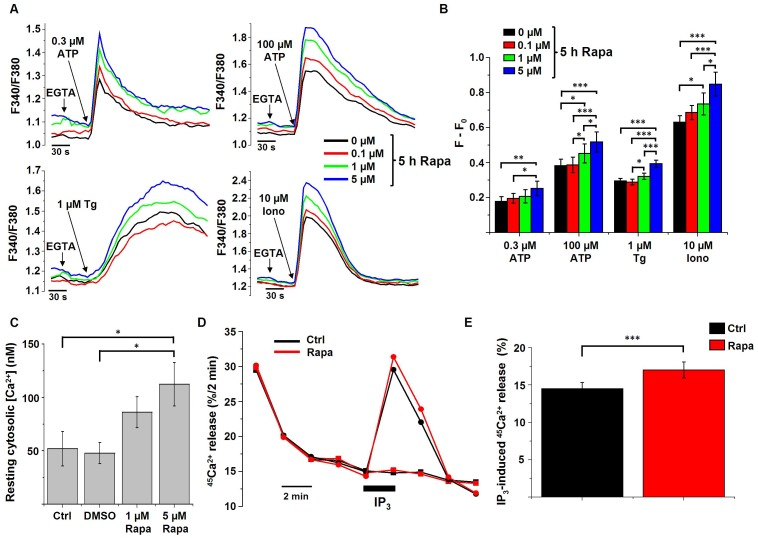Rapamycin affects intracellular Ca 2+ signaling. A) Representative measurements ( n = 4) of cytosolic Ca 2+ signals, displayed as Fura2 ratio (F340/F380), showing the effect of 0.3 µM and 100 µM ATP, 1 µM thapsigargin (Tg) or 10 µM ionomycin (Iono) in intact HeLa cells treated with different concentrations of rapamycin (Rapa) for 5 h. 45 s prior to the addition of ATP, Tg or Iono, EGTA (3 mM) was given to buffer extracellular Ca 2+ as indicated. B) Quantification of the average amplitude of the response (F−F 0 ) ( n = 4). * p
