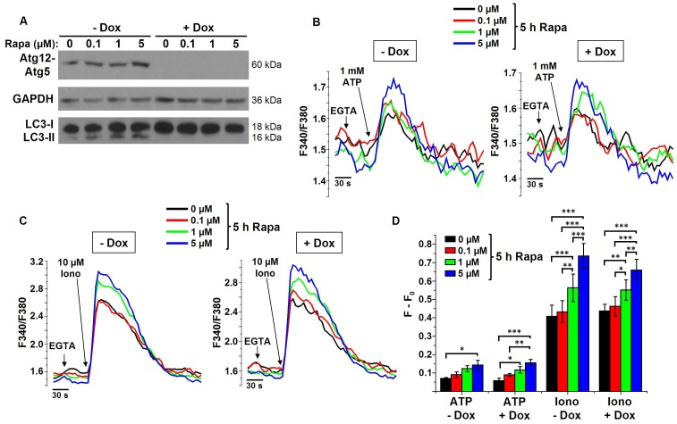 Changes in Ca 2+ signaling are independent of autophagy stimulation and occur upstream of the Atg12-Atg5 complex. A) Representative Western-blot analysis for Atg12 (showing the autophagic Atg12-Atg5 complex), GAPDH and LC3 of protein lysates obtained from MEF cells pretreated with (+Dox) or without (-Dox) doxycycline and treated with DMSO or 0.1, 1 or 5 µM rapamycin (Rapa) for 5 h ( n = 3). B–C) Representative measurements of cytosolic Ca 2+ signals, displayed as Fura2 ratio (F340/F380), showing the effect of 1 mM ATP (B) or 10 µM ionomycin (Iono) in intact MEF cells pretreated with or without doxycycline and treated with different concentrations of rapamycin for 5 h. Prior to the addition of ATP or Iono, EGTA (3 mM) was added to chelate the extracellular Ca 2+ as indicated. D) Quantification of the average amplitude of the response (F−F 0 ) ( n = 3, 4, 5 and 6 for ATP-Dox, ATP+Dox, Iono-Dox and Iono+Dox, resp.) * p
